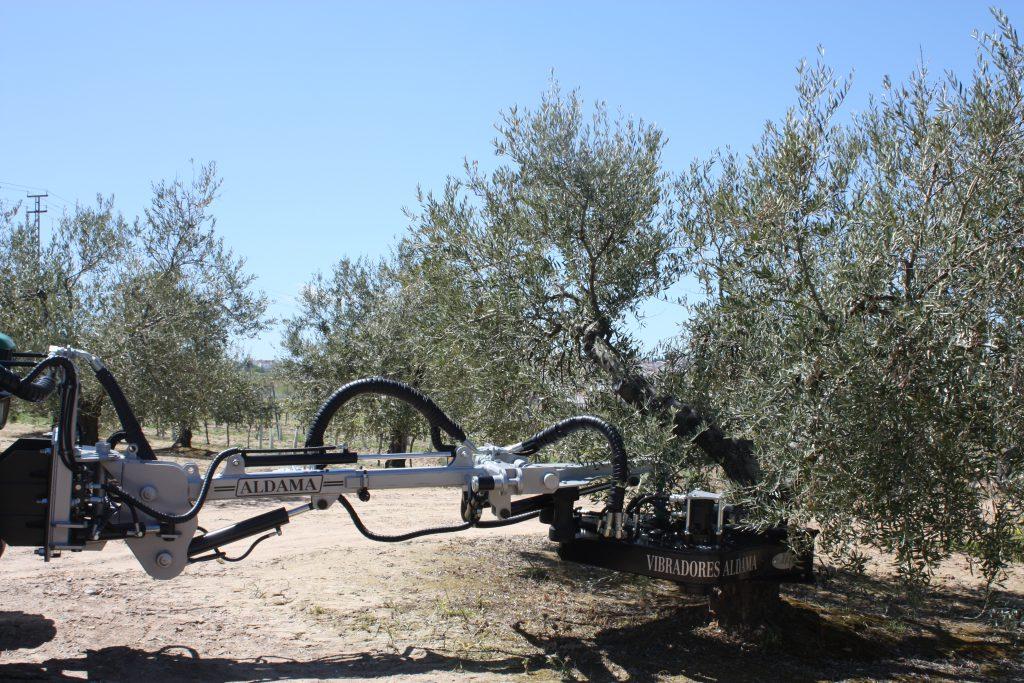 Vibro en olivo